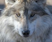 Mexican gray wolf portrait. Mexican gray wolf closeup portrait Stock Photography