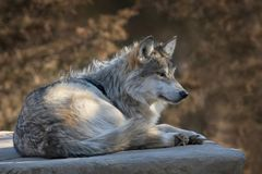 Mexican gray wolf profile portrait royalty free stock photography