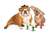 Mexican Hairless Cat and Bulldog Cinco De Mayo Stock Image