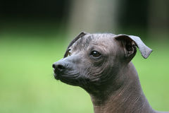 Mexican Hairless Dog. On grass background Royalty Free Stock Photography