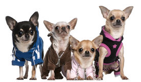 Mexican Hairless dog and Chihuahuas. In front of white background stock image