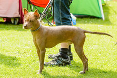Mexican hairless dog. In leash beside handlers feet stock photography