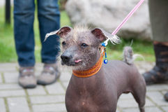 Mexican hairless dog Stock Image