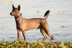 Mexican hairless dog - Xochointcuintle. Mexican hairless dog, once almost extinct, in water at Lake Chapala, Ajijic, Mexico. Breed is Xochointcuintle royalty free stock photography