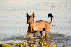 Mexican hairless dog - Xochointcuintle Royalty Free Stock Images