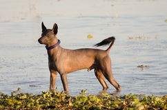 Mexican hairless dog - Xochointcuintle Royalty Free Stock Photo