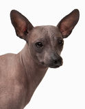 Mexican hairless puppy on white Royalty Free Stock Image