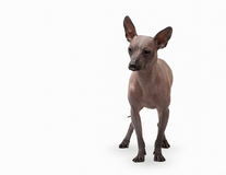 Mexican hairless puppy on white Stock Images