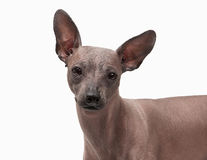 Mexican hairless puppy on white. Background Stock Photo