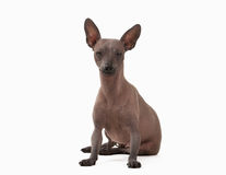 Mexican hairless puppy on white Stock Image