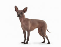 Mexican hairless puppy on white Royalty Free Stock Photography