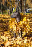 Mexican hairless xoloitzcuintle dog Royalty Free Stock Photo