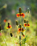 Mexican Hat Coneflowers Stock Photography
