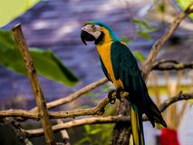 Parrot hanging on eucalipitis tree. royalty free stock photo