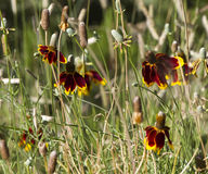 Mexican Hat or Prairie Coneflower, Ratibida column Royalty Free Stock Photo