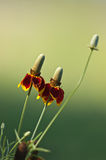 Mexican Hat (Ratibida columnaris) flowers Royalty Free Stock Image