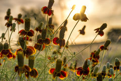 Mexican hat Wildflowers Stock Photography