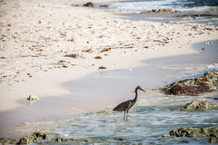 Mexican heron bird beach del carmen Yucatan Royalty Free Stock Image