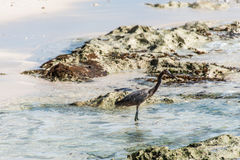Mexican heron bird beach del carmen Yucatan 3 Stock Photography