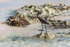 Mexican heron bird beach del carmen Yucatan 7 Royalty Free Stock Photos