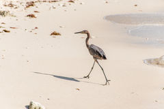Mexican heron bird beach del carmen Yucatan 10 Royalty Free Stock Photos