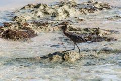 Mexican heron bird beach del carmen Yucatan 6 Royalty Free Stock Photo