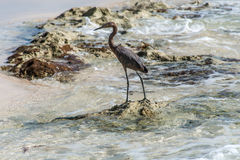 Mexican heron bird beach del carmen Yucatan 8 Stock Photos