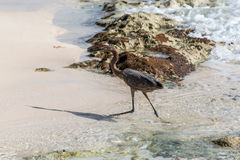 Mexican heron bird beach del carmen Yucatan 9 Royalty Free Stock Images