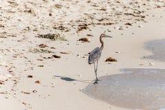 Mexican heron bird beach del carmen Yucatan 11 Stock Photography