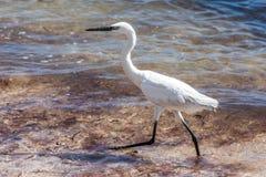 Mexican heron bird beach del carmen Yucatan. Mexican heron bird at the beach del carmen in Yucatan 23 royalty free stock images