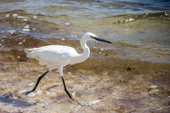 Mexican heron bird at the beach yucatan 4 Stock Image