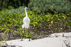 Mexican heron bird at the beach yucatan 5 Royalty Free Stock Images