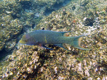 Mexican hogfish Stock Image