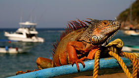 Mexican Iguana. Iguana in Mexico gets ready to take his boat out to sea Stock Photos