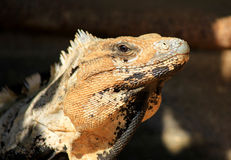 Mexican Iguana. Looking into camera Royalty Free Stock Image