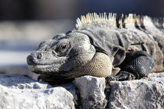 Mexican iguana Stock Images