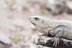 Mexican iguana Royalty Free Stock Photo