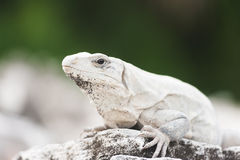 Mexican iguana Royalty Free Stock Images