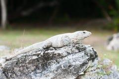 Mexican iguana Stock Image