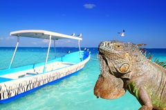 Mexican iguana in Caribbean tropical beach. Mexican iguana in front of Caribbean tropical beach boat Stock Photo