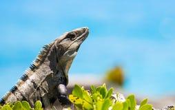Mexican Iguana Stock Photography