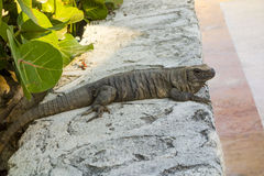 Mexican Iguana during Evening Hunting Hour Stock Image