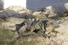 Mexican Iguana with an Ice Cube Royalty Free Stock Photo