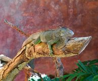 Mexican iguana on a tree trunk Royalty Free Stock Images