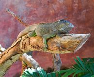 Mexican iguana on a tree trunk Stock Images