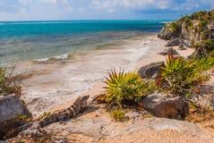 Free Mexican Iguana In Tulum With Caribbean Sea Of Riviera Maya Mexico, Yucatan Stock Image - 116811721