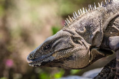 Mexican Iguana. A profile portrait shot of a wild Mexican iguana in the jungle Stock Image