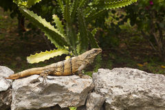 Mexican Iguana resting on a rock in Chichen Itza Stock Images