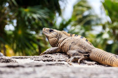 Mexican Iguana Royalty Free Stock Photos
