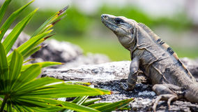 Mexican Iguana Stock Photography